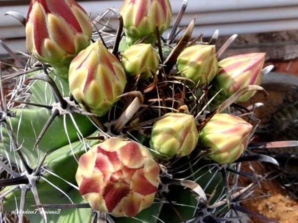 The Catus Blooms 3