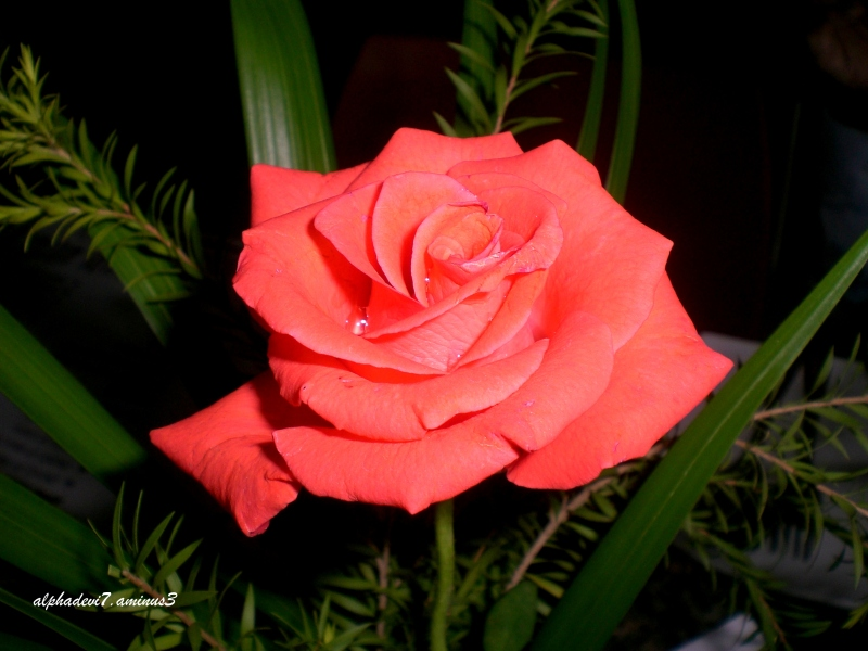 A rose  for all 2