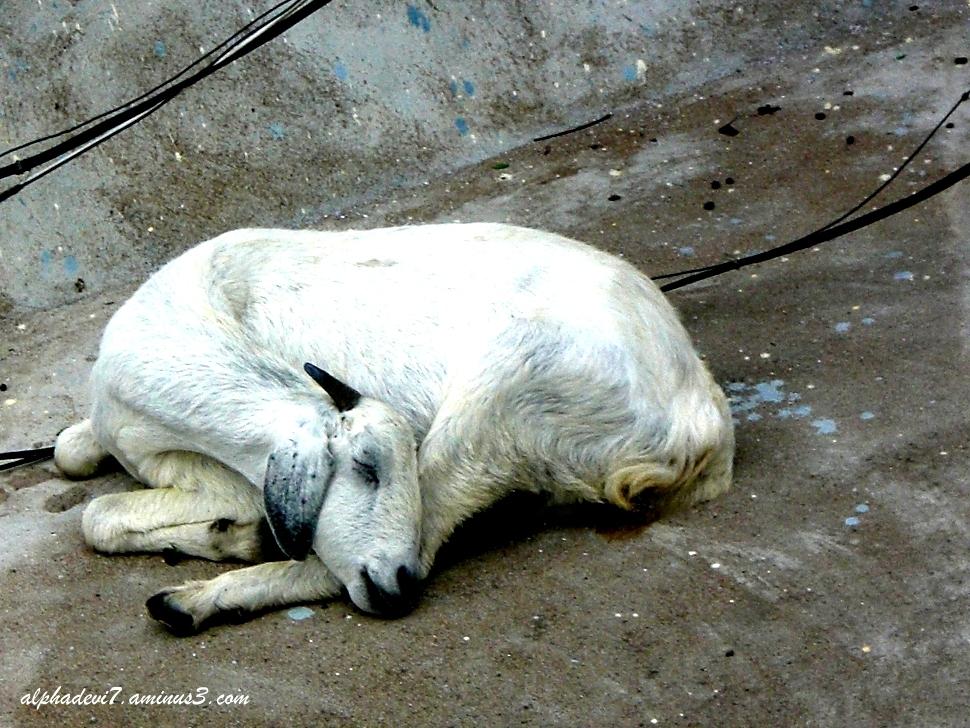 the sleeping goat