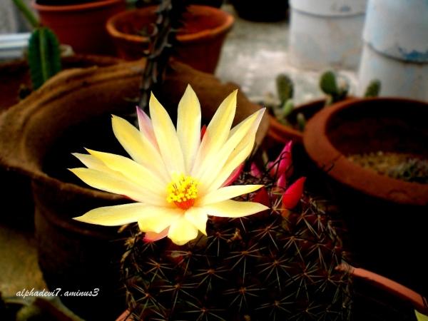 The cactus blooms