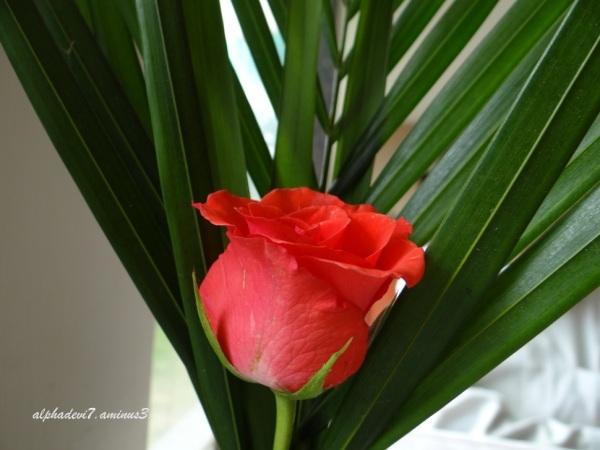 Same rose...1