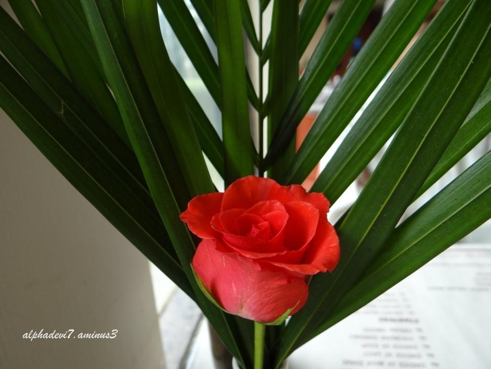 Same Rose 2