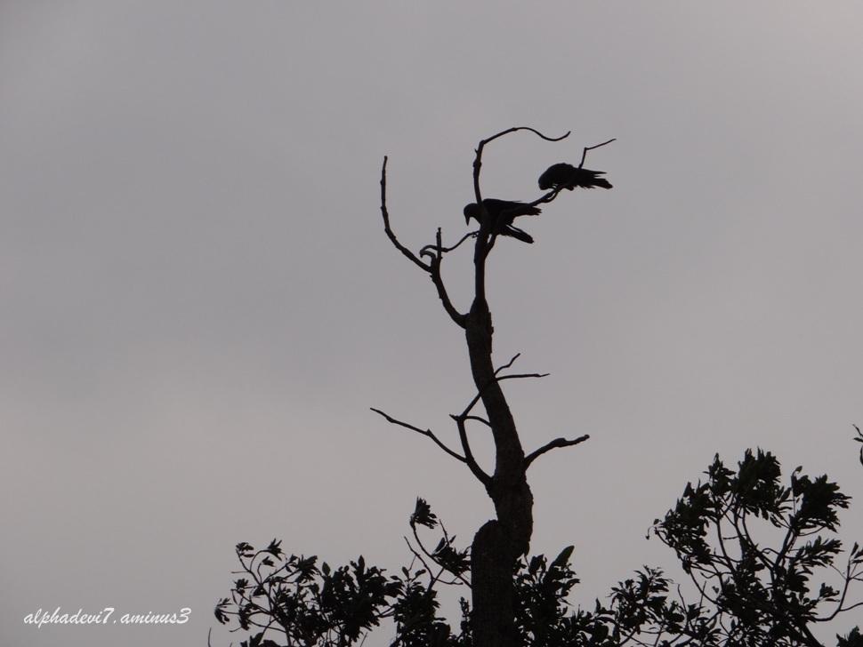 Black birds 1