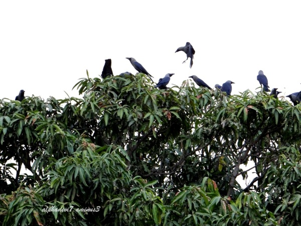 Convention  Crows 2