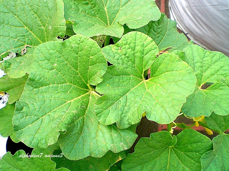 Leaves of the Cucumber plant