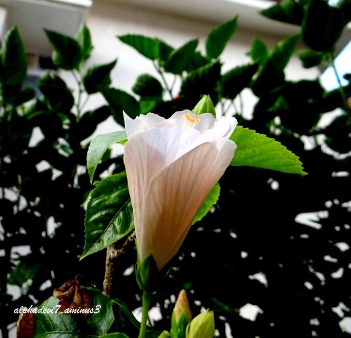 I'll blossom tomorrow
