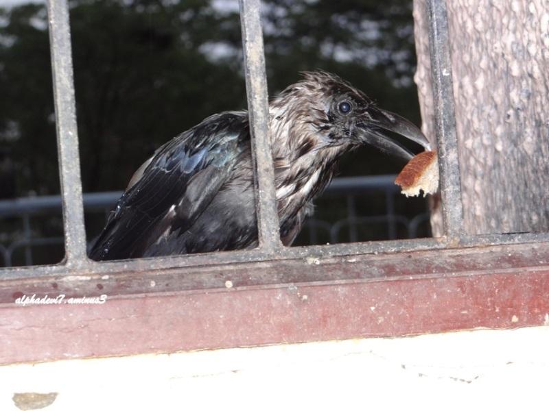 The wet wet crow