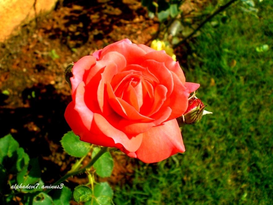 Arise...Rose.