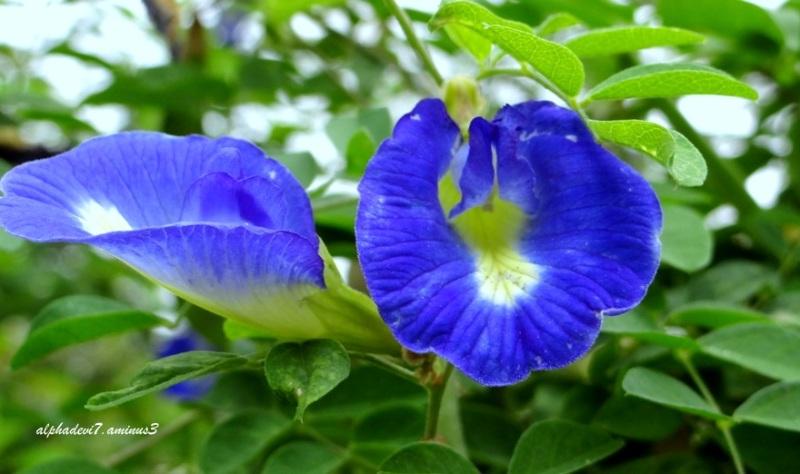 Lovely blue  2
