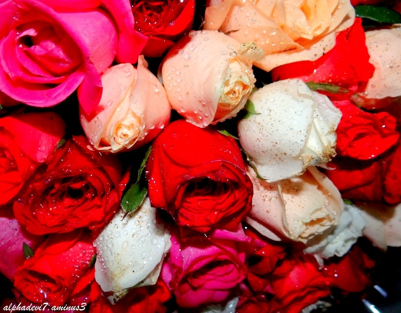 A hundred roses   .....