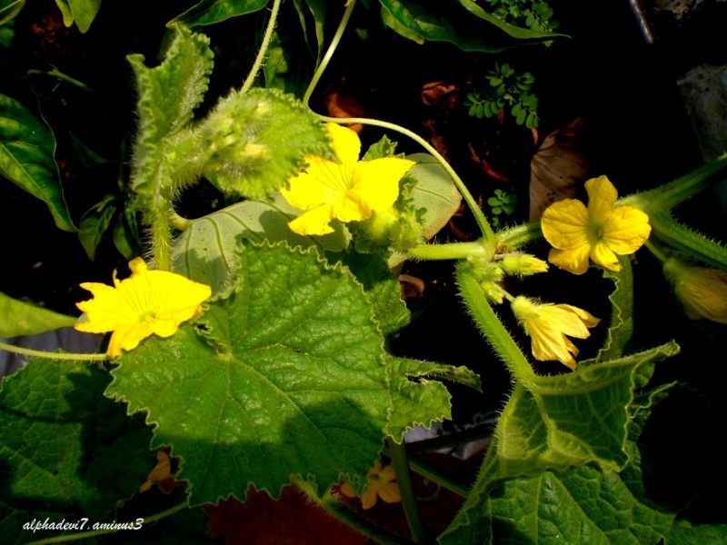 The gourd flowers