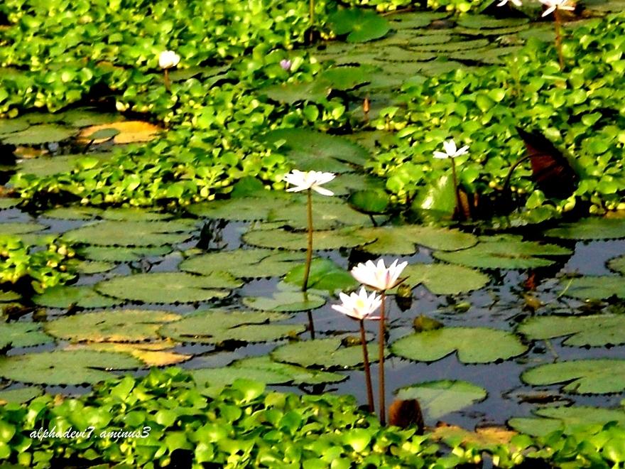 Lilies bloom
