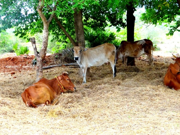 Cows & Bulls 3