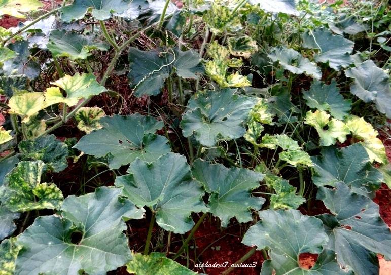 Pumpkin leaves..