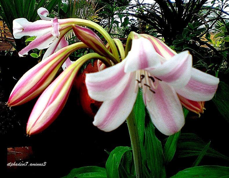 The Lily blooms