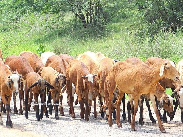 a herd...