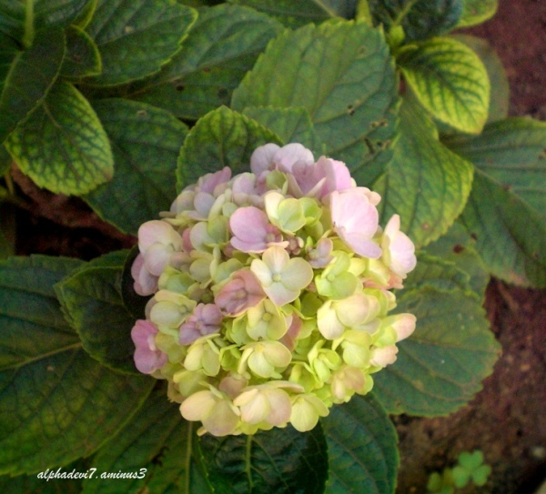 A small  bunch of Hydrangea