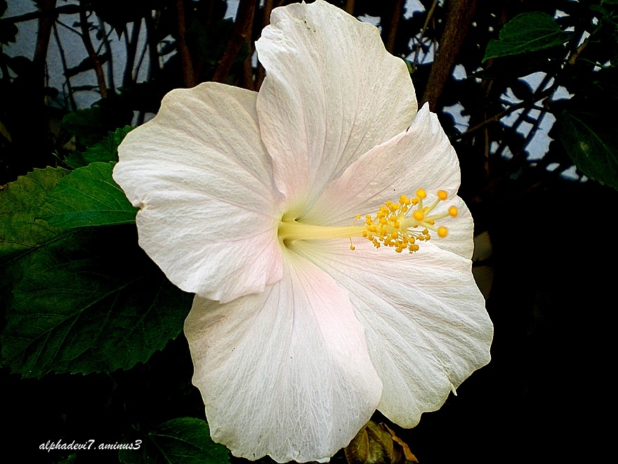 The white hibiscus
