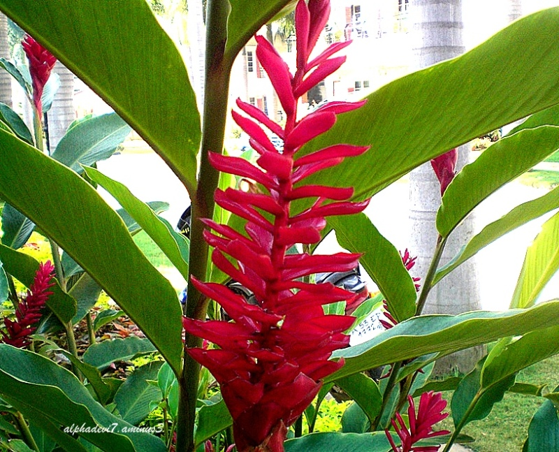 The Ginger plant !!