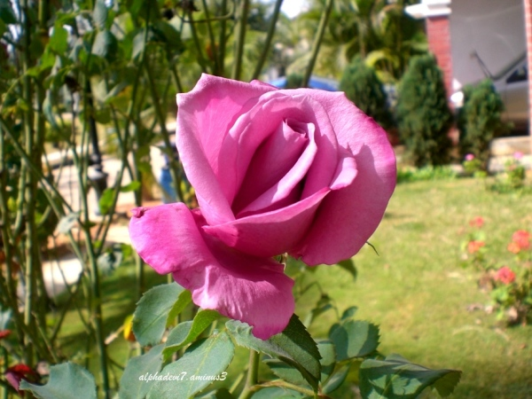 The half open rose..