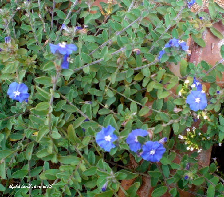 Are these  Forget me not flowers ?