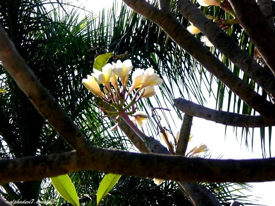 bunch of Frangipani flowers