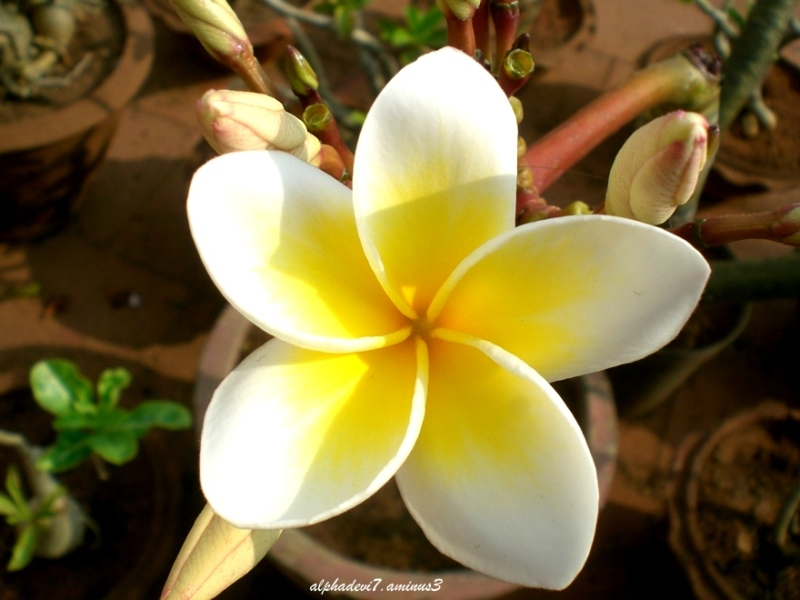A lone Frangipani flowerd surrounded by buds