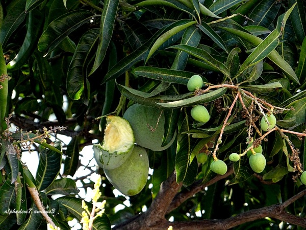 The bitten mango