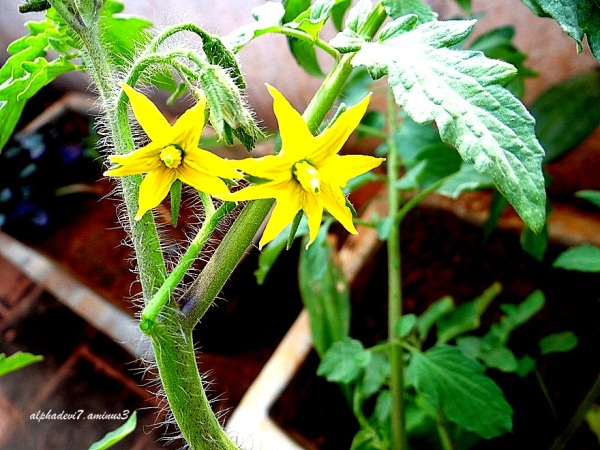 The tomato plant and flowers