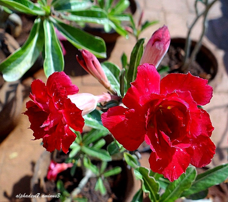 Desert Rose or Adenium