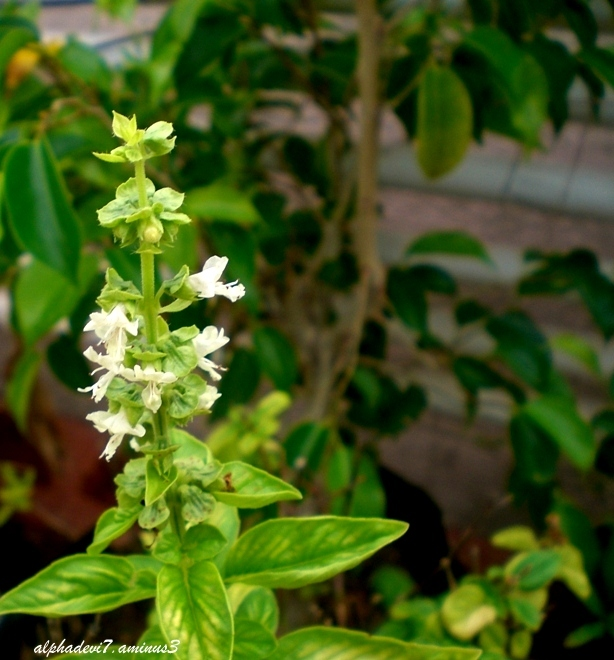 The Peppermint flowers