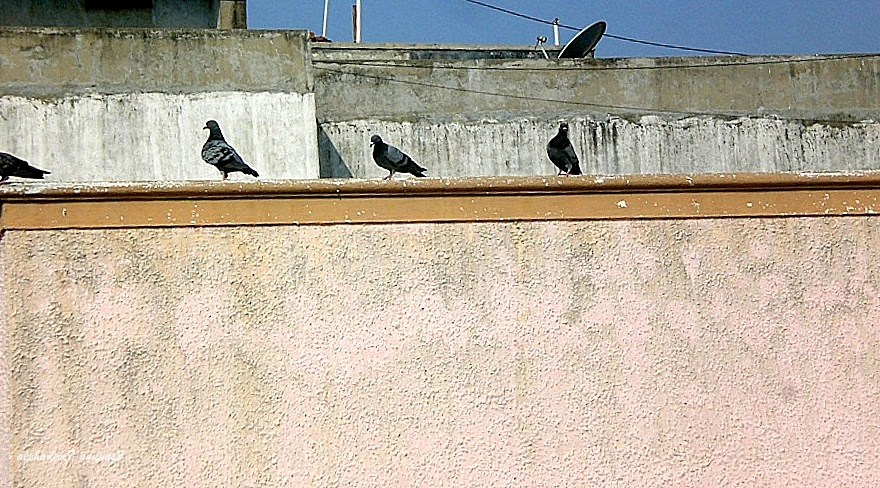 A row of pigeons
