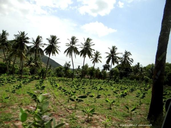 Tha Banana saplings