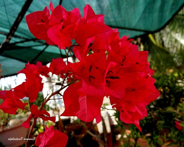 The beautiful bougainvillae..6
