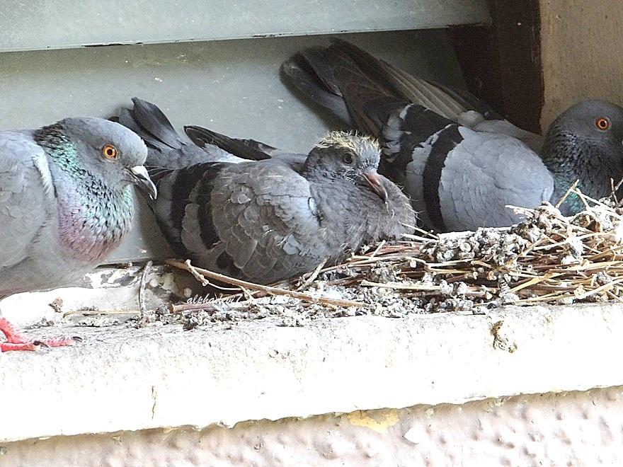 The pigeon kid growing fast