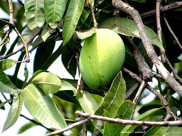 The LOne Mango