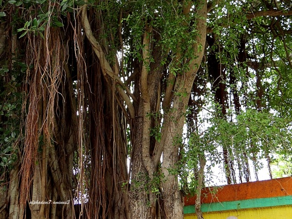 The  huge banyan tree.
