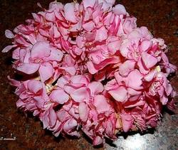 A Garland of Pink Oleander Flowers