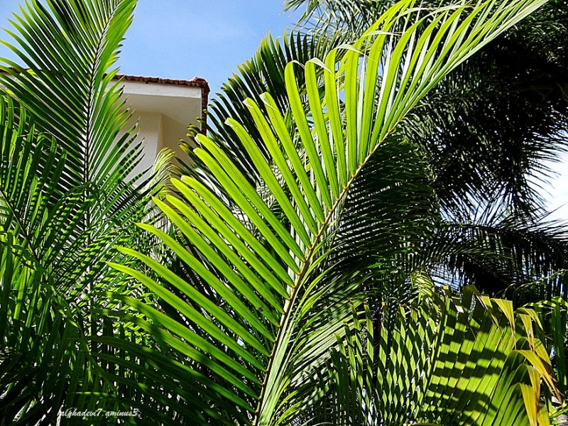 The Palm Leaves ...