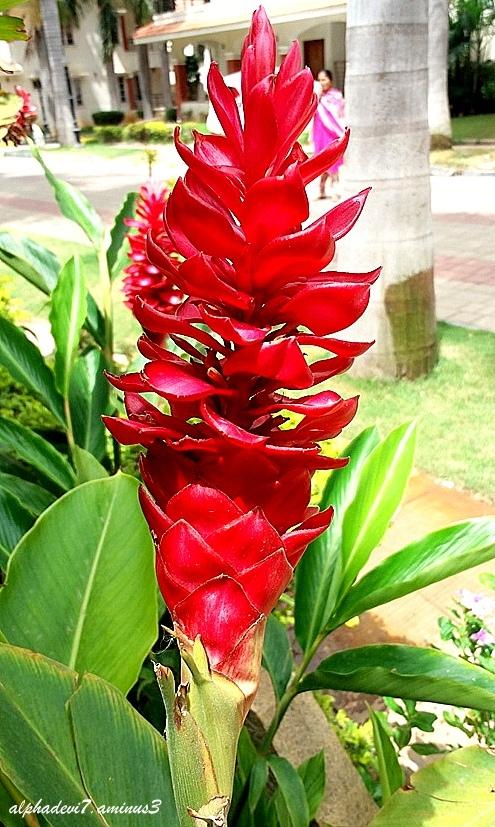 The Ginger Flower :)