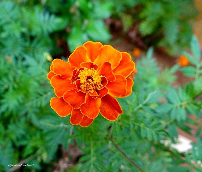 A closeup....  Marigold