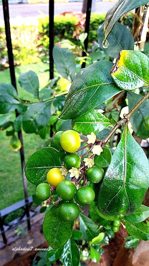 The Berries...