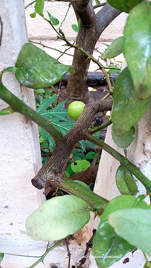 The Peeping Lime :))