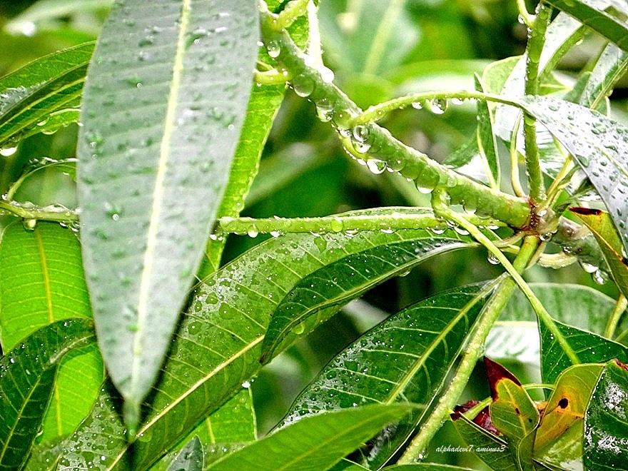 Rain drops on green leaves ..