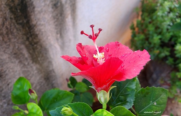 Hibiscus after rain....