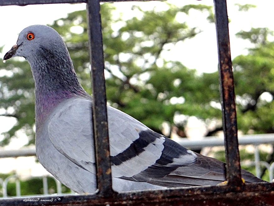 Pigeon on a wet day :)))