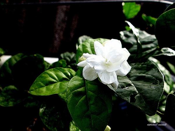 Jasmine flower...