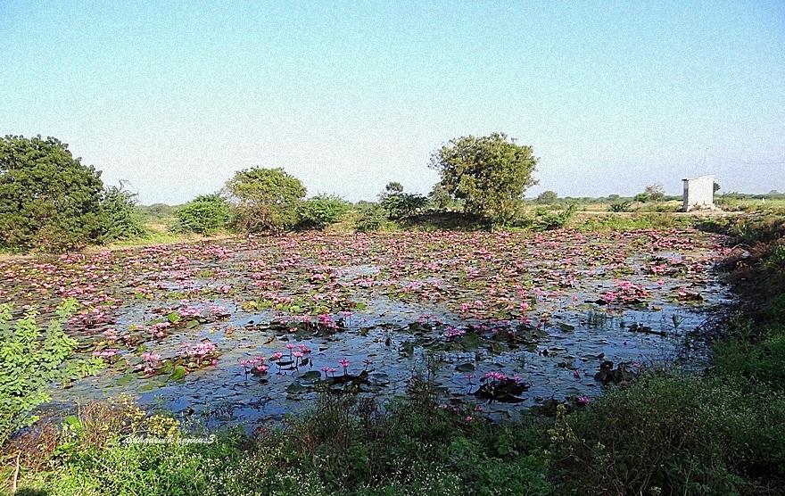 Lily Pond   1