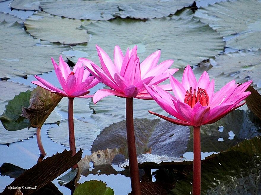 Lily Pond   4