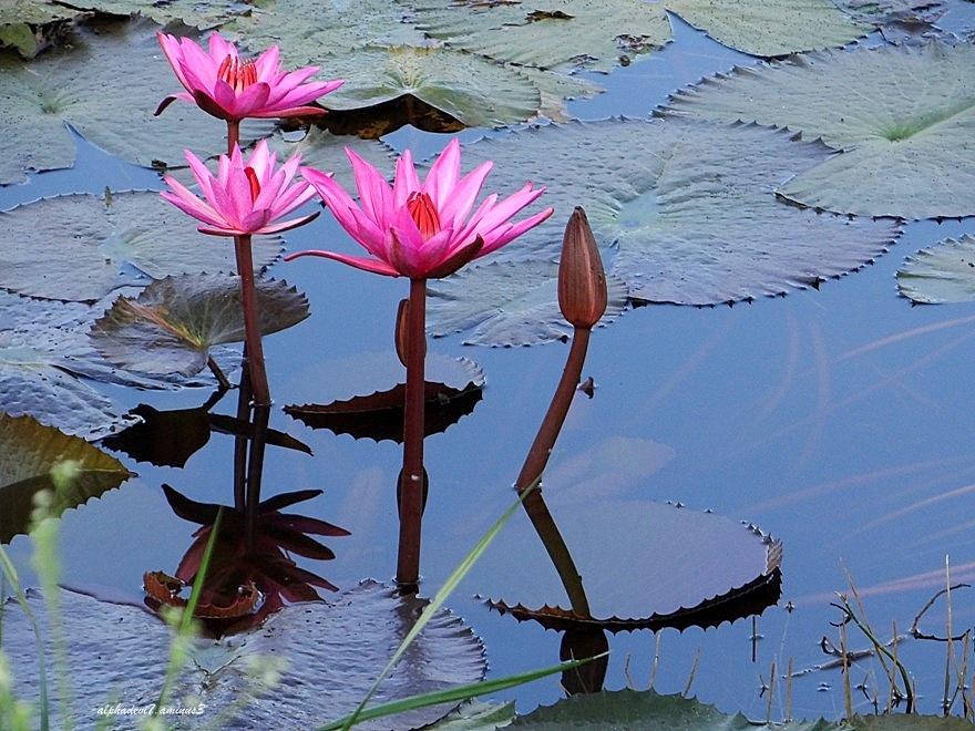 Lily Pond   7